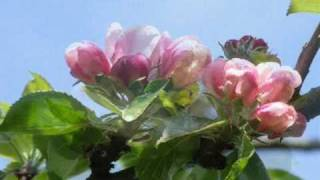 Apple Blossom Time ~ the beauty of spring