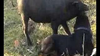 FUN 2017:このビデオでは、インドで野生のイノシシの子豚を攻撃してい...