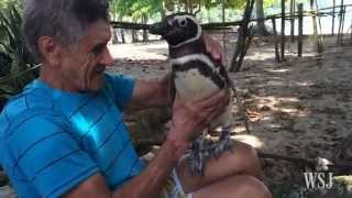 Penguin Always Returns From the Sea to Visit Man Who Saved Its Life