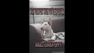 What to expect when you're expecting a new Bull Terrier puppy
