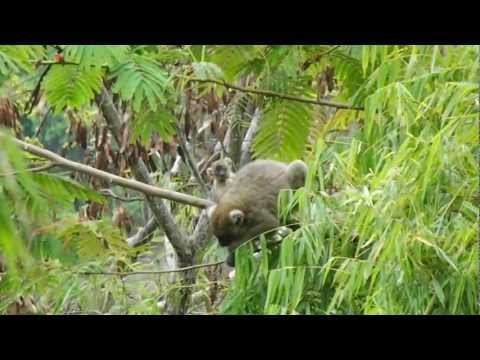 Greater Bamboo Lemur baby, Andriantantely, Madagascar