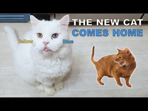 The Odd eyed Old Cat Comes Home (Introducing New Cat to My Cats)
