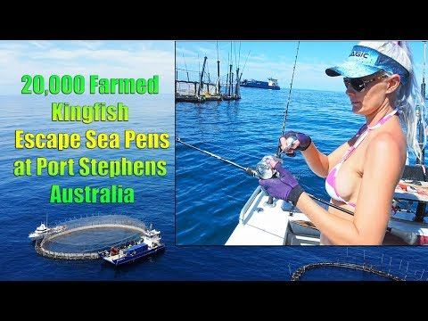 20,000 Kingfish Escape Sea Pens At Port Stephens
