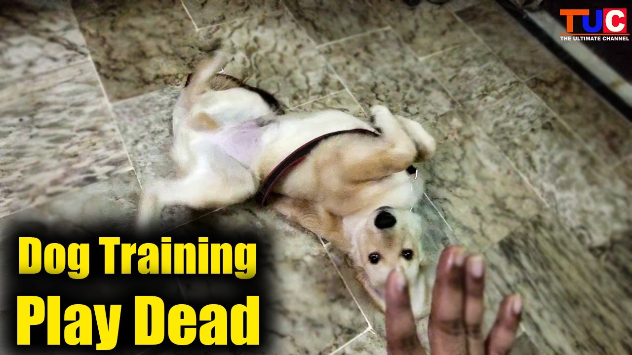 How to Train Play Dead To Your Dog : Dog Training : TUC