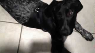 German Shorthaired Pointer Eating Ice