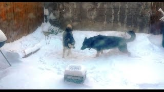 Siberian Husky And German Shepherd Playing In Snow Storm 2014!