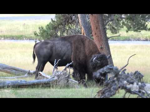 Bison licking a tree @ Yellowstone National Park