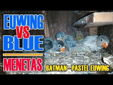 LOVEBIRD  MENETAS  KELUAR BATMAN, PASTEL EUWING DAN VIOLET || BAMIS LOVEBIRD farm