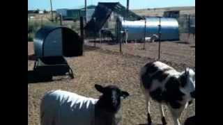Raising Sheep & Goats For Profit - Part 1
