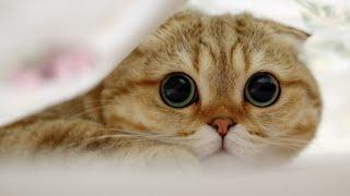 Шотландские котята играют! Веселое видео для детей!