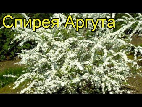 Спирея аргута. Краткий обзор, описание характеристик, где купить саженцы, крупномеры spirea arguta