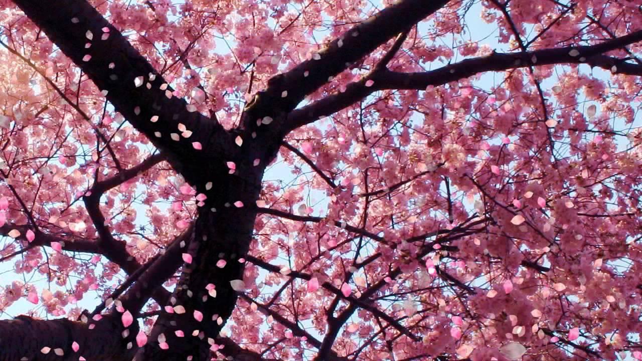 Cherry Blossom (Video Background) - YouTube