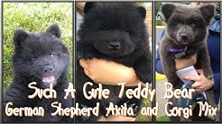 German Shepherd Akita And Corgi Mix = Such A Cute Teddy Bear