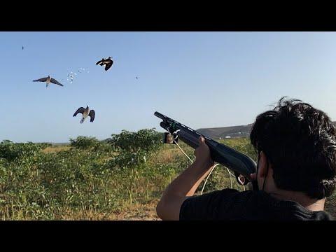 Chasse Tourterelles Des Bois – Dove Hunting – Cacería De Tórtolas