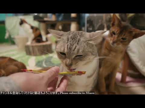 3.4 ちゅーる 猫部屋ライブ映像   Cats & Kittens room 【Miaou みゃう】