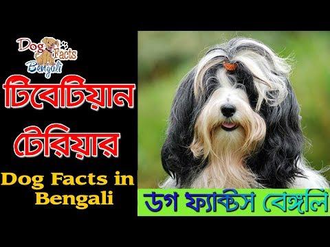 Tibetan Terrier Dog facts in Bengali | Tibetan Dog Breed | Dog Facts Bengali