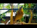 Masteran Burung Manyar Kembang Gacor  Mp3 - Mp4 Download