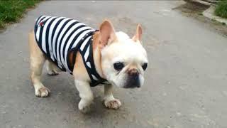 フレブルの老犬タロウ12歳の時です。 撮影日 2016.07.06第...