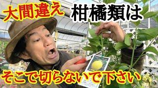 【正しい剪定方法教えます】柑橘類は剪定しないと実が取れませんよ。     【ガーデニング】【園芸】【初心者】【レモン】【みかん】【オレンジ】