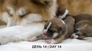 ЩЕНКИ #АКИТА ОНЛАЙН | #AKITA PUPPIES ONLINE | PET 犬 | DAY 14