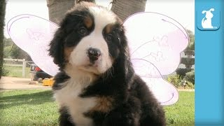 Bernese Mountain Puppy Grows Wings, Doesn't Learn To Fly  Puppy Love