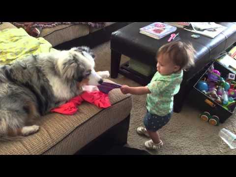 Giggling baby plays tug-of-war with Australian Shepherd