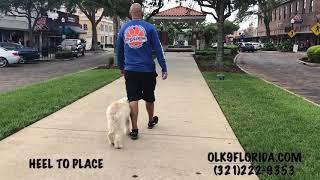 "5 Month Old Golden Doodle ""Tatty""/ Dog Trainer/ Best Dog Trainer Orlando"
