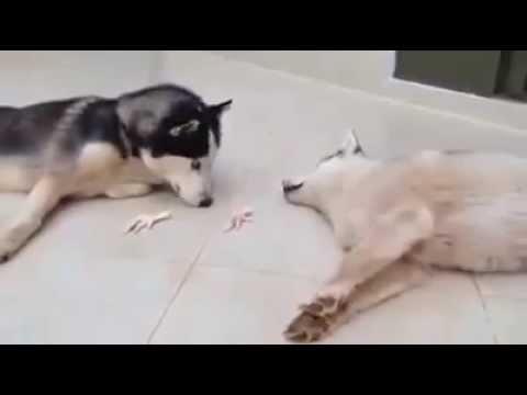 Kênh Chó Mèo -  Chú chó Husky  thảo  nhất Vịnh Bắc Bộ