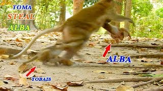 MONKEY TOMA STEAL BABY ALBA FROM ANNA | TOMA ANGRY MOM ANNA MAKING HER BABY TOBAIS HURT