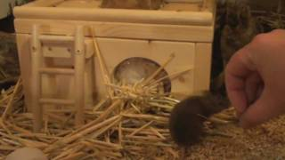 Building a Nest with Matilda, cute little mouse