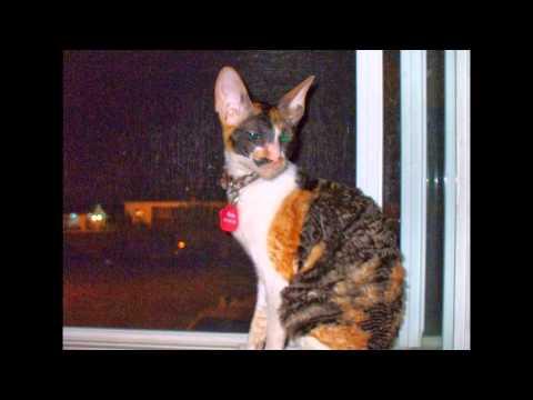 Mon Elevage de chats Rex Cornish chatteriepassion.ca