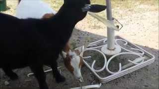 Corn Husk Fun For Baby Goats And Shih Tzu!