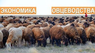 Экономика в овцеводстве. Селекционно-генетический центр. ООО Волгоград - Эдильбай.