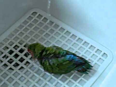 Pappagallo inseparabile di nome gigio che fa il bagno youtube - Bambolotti che fanno il bagno ...
