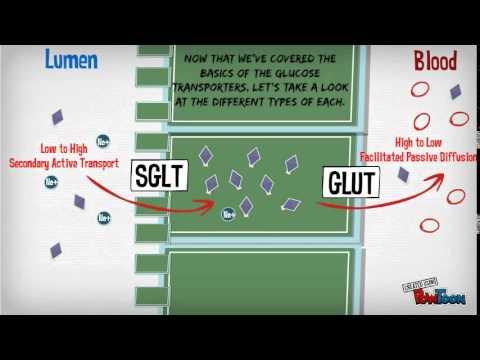 Glucose Transporters part 1