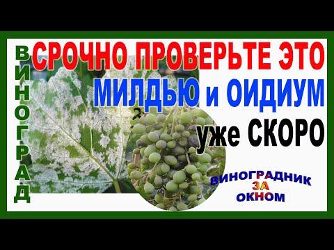 🍇 ВНИМАНИЕ! СРОЧНО проверьте ЭТО! ИНАЧЕ МИЛДЬЮ И ОИДИУМ на винограде. КАК определить и ЧТО ДЕЛАТЬ.