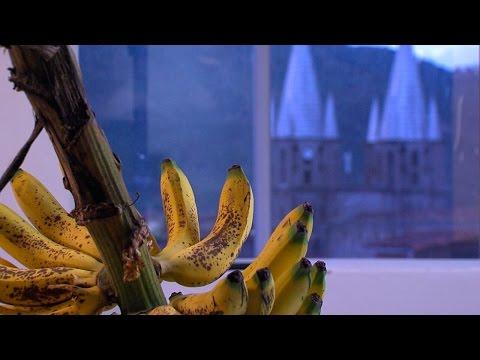 C mo cultivar banano org nico tvagro por juan gonzalo for Banano de jardin