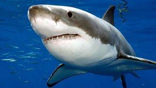 Tubarão Voador o maior predador africano - África selvagem parte 3