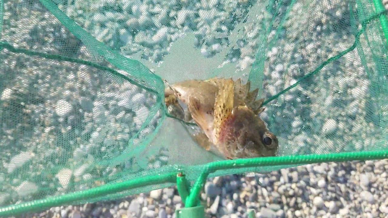 Это морской ёрш, если эта рыба уколит своими шипами, то ...