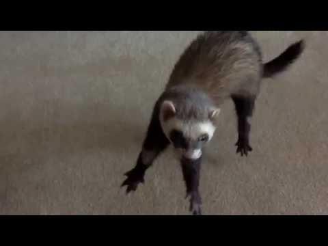 Ferris the Ferret does a Weasel War Dance