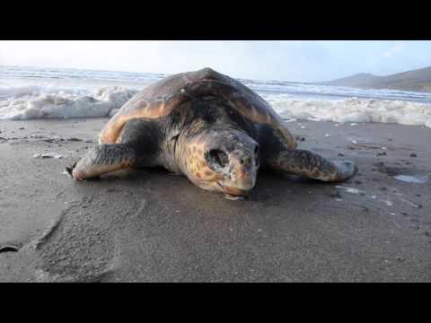 loggerhead turtle dingle