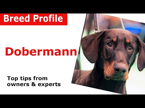 Dobermann Dog Breed Guide
