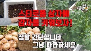 베란다 텃밭 스티로폼에 감자 심는방법 재배방법