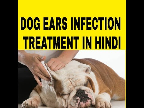 Pet care ! Dog ear infection treatment in Hindi ! Dog ultimate care