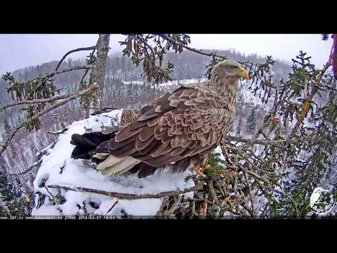 WICKED Weather! - Latvian White Tailed Eagles nest - Feb. 7, 2018