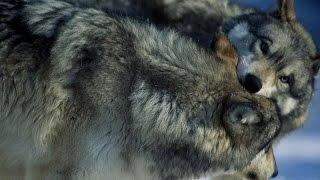 #2092. Волки, койоты и шакалы (В мире животных)