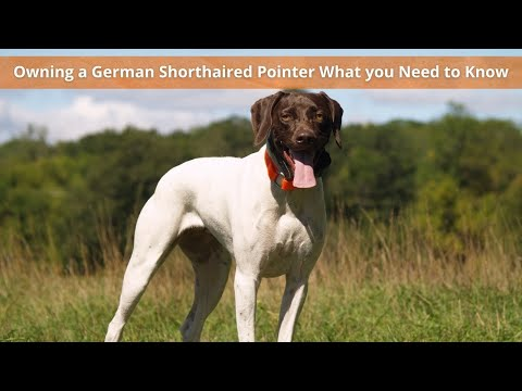 Owning a German Shorthaired Pointer  What you need to know