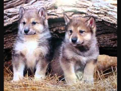 Majestic Wolves Youtube