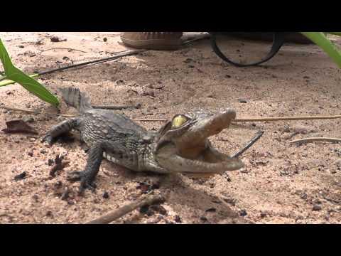 Cute baby crocodile squeaking