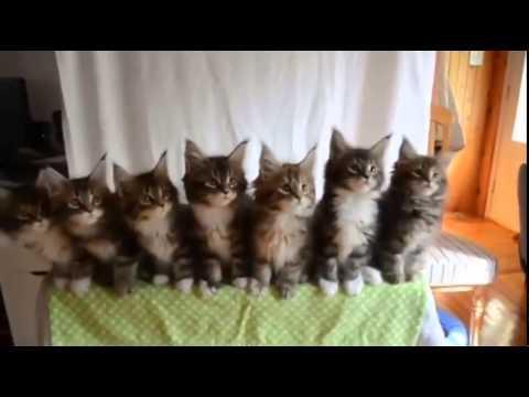 Найти поющие коты